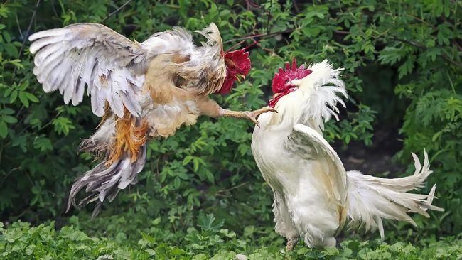 Taruhan Ayam Terkenal